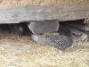 Living History Farm-113807.jpg